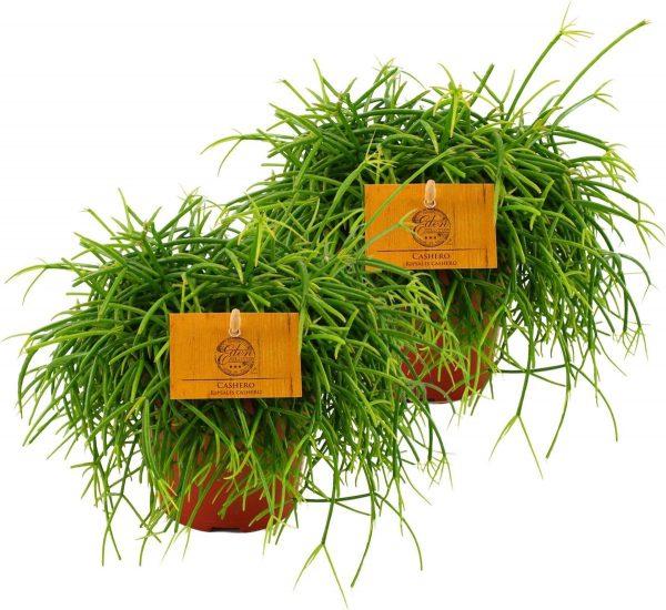 2x Rhipsalis cashero - Rotscactus - Rotskoraal - 2 stuks -↑ 20-25cm - Ø 12cm