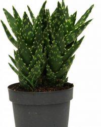 Aloe Vera plant small