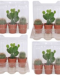 Cactus mini (4-pack)