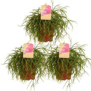 Choice of Green - Rhipsalis cashero -Rotskoraal - set van 3 stuks - Kamerplant in Kwekerspot ⌀12 cm - Hoogte ↕20 cm