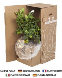 Kamerplant van Botanicly - Jadeplant - Hoogte: 40 cm - Crassula Minor Canarias