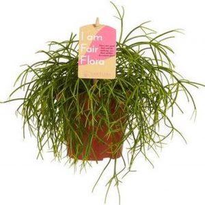 Kamerplant van Hellogreen - Rhipsalis Cashero - Hoogte: 20cm - zonder sierpot