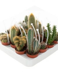 Mini cactus mix met picker (20-pack) - P 6 cm