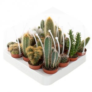Mini cactus mix met picker (20-pack) - P 6 cm