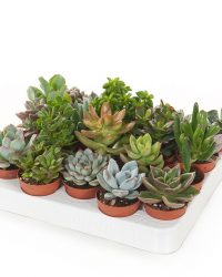 Mini vetplantjes mix (20-pack) - P 6 cm