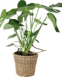 Plantenpakket 4x 'Easy Care' - Monstera, Blauwvaren, 2x Aloe Vera - Incl. decoratieve sierpotten - ↑ 30-70 cm