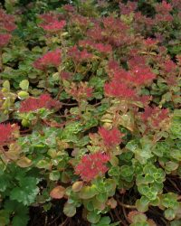 Rode muurpeper Schorbuser Blut - Sedum spurium