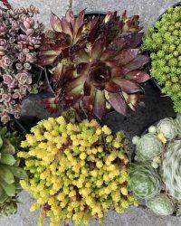 Rotsplanten Mix (Sedum Sempervivum) 6x