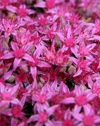 Roze muurpeper Carl - Sedum Spectabile