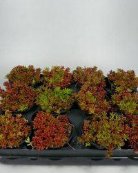 Sedum - Coral Carpet - 12 stuks (9cm, rotsplanten)