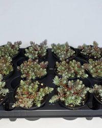 Sedum - Reflex- 12 stuks (9cm, rotsplanten)