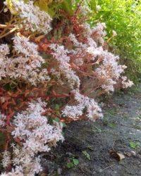 Sedum album 'Coral Carpet' - Witte muurpeper