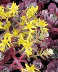 Vetkruid Sedum spathulifolium 'Purpureum'