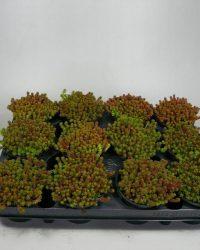 sedum - Sexangulare - 12 stuks (9cm, rotsplanten)