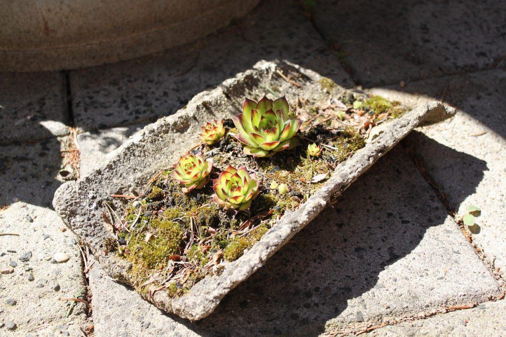 sempervivum voor in de tuin