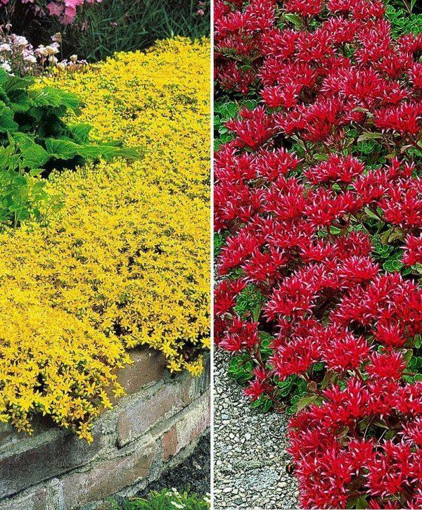 10x Sedum - Muurpeper - Rood en geel - 10 stuks