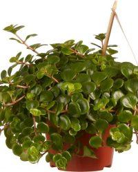 Kamerplant van Botanicly - Vetkruid - Hoogte: 15 cm - Sedum makinoi