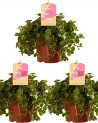 Kamerplanten van Botanicly - 3 × Vetkruid - Hoogte: 15 cm - Sedum makinoi