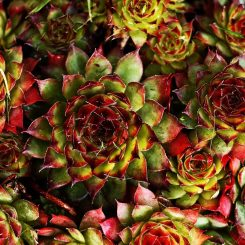 Help, mijn vetplantjes worden rood, bruin of geel