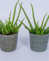 2x Aloe Vera Kamerplant - ± 30cm hoog - In grijze mand