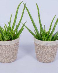 2x Aloe Vera - Kamerplant - ± 30cm hoog - In mandje