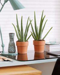 2x Aloe Vera plant - Incl. Terracotta Pot - Set Van 2 - ↑ 40-45cm - Ø 12cm