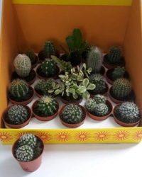 6 Mini Cactus Plantjes. Mix. Baby plantjes. Kantoor Huiskamer Cadeau