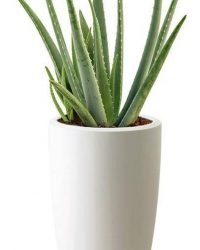 Aloe Vera In Elho Pure Soft High