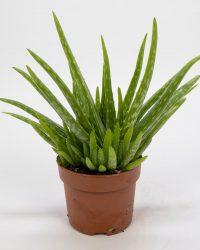 Aloe Vera Kamerplant - ± 30cm hoog - 12cm diameter