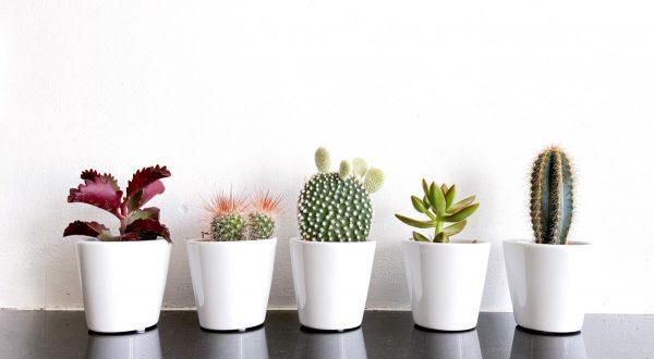 Cactus en vetplanten mix in 5,5cm sierpot Clearly White