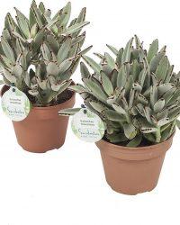 Cactussen van Botanicly - 2 × Kalanchoe tomentosa - Hoogte: 28 cm