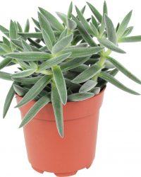 Crassula tenelli - Vetplantje - Dikblad ↑ 15-20cm - Ø 10,5cm