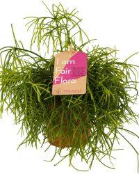 Duurzaam geproduceerde Kamerplant van FAIR FLORA® - 1 x Rhipsalis baccifera cashero - Duurzaam geproduceerde Kamerplant van FAIR FLORA® 18 cm