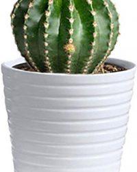 Echinopsis Oxygona Zeldzame Cactus 10cm met sierover pot