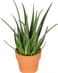 Kamerplant van Botanicly - Aloe Vera incl. terracotta sierpot als set - Hoogte: 60 cm