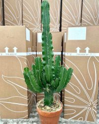 Mediterrane plant - Cactus - Euphorbia ingens Ø24 inclusief pot