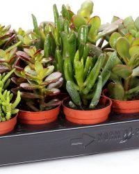 Mini Succulent Crassula mix 5cm↑ Ø5cm - 5 stuks