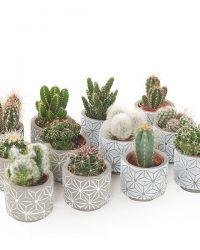 Mini cactus in betonpotje star (12-pack) - P 7 cm