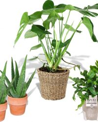 Plantenpakket 4x 'Easy Care' - Monstera, Blauwvaren, 2x Aloe Vera - Incl. decoratieve sierpotten - ↑ 30-70 cm