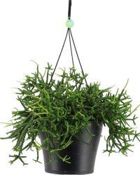 Rhipsalis Heteroclada in hangpot - 25cm