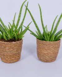 2x Aloe Vera plant - ± 30cm hoog - In mand