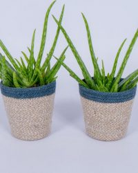 2x Aloë Vera plant - In trendy mand - ± 40cm hoog