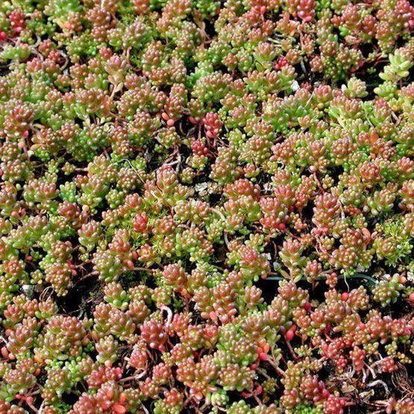 50 x Sedum Album 'Coral Carpet' - Muurpeper in 9x9cm pot (stuksprijs €2,25)