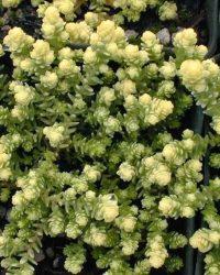 6 x Sedum Acre'Elegans' - Muurpeper pot 9x9cm