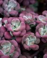 6 x Sedum Spathulifolium 'Purpureum ' - Vetkruid pot 9x9cm