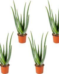 Aloe Vera 4x |Kamerplant in kwekerspot ⌀12 cm - ↕35 cm