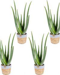 Aloe Vera 4x in sierpot | Kamerplant in sierpot ⌀12 cm - ↕40 cm
