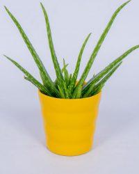 Aloe Vera Kamerplant - ± 30cm hoog - In gele bloempot