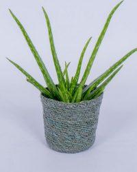 Aloe Vera Kamerplant - ± 30cm hoog - In grijze mand