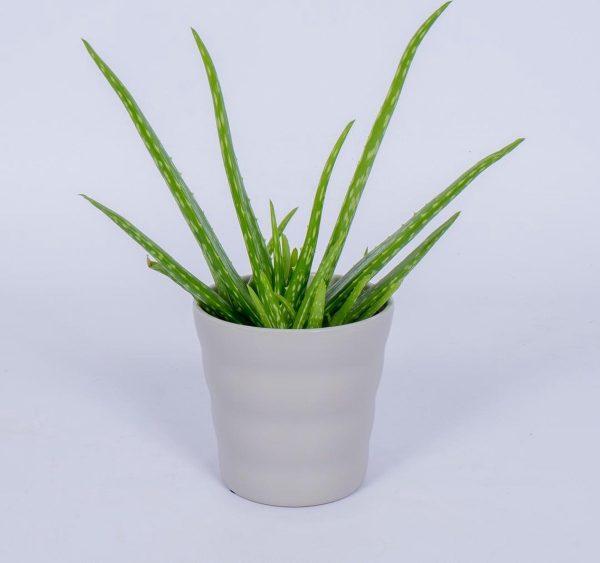 Aloe Vera - Kamerplant - ± 30cm hoog - In grijze pot